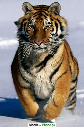 baby_tiger_animals_mobile_wallpaper.jpg