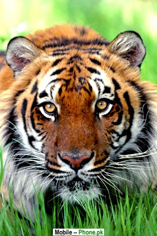Bengal Tiger Wallpapers Mobile Pics