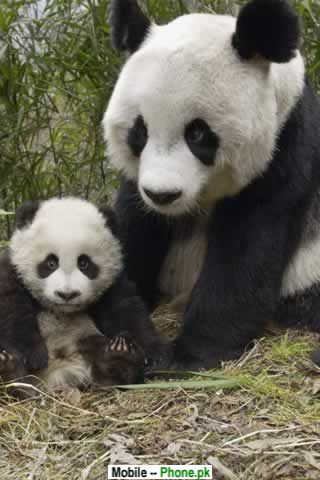 Cute Panda Wallpapers Mobile Pics