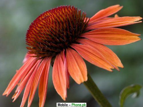 echinacea_sundown_others_mobile_wallpaper.jpg
