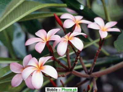 wallpapers of flowers for mobile. Frangipani Flowers Wallpaper