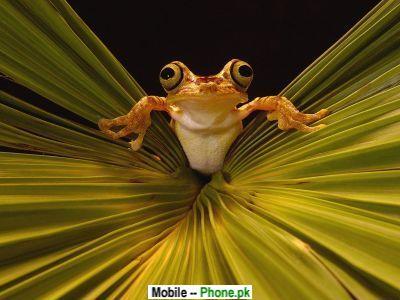 funny_frog_others_mobile_wallpaper.jpg