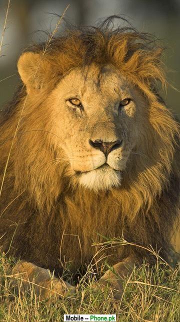 lion_face_wallpaper_animals_mobile_wallpaper.jpg