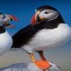atlantic puffins Animals 320x480