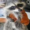 baby raccoon Animals 320x480