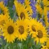 Balsamroot and Lupine Others 400x300