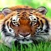 bengal tiger Animals 320x480