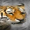 bengal tiger face Animals 360x640