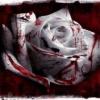 blood rose Nature 176x220