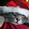 christmas cat Animals 176x220
