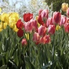 Colorful Tulips Others 400x300