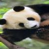cute baby panda pics Animals 360x640