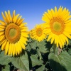 Field of sunflower Others 400x300