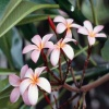 Frangipani Flowers Others 400x300