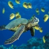 Green Sea Turtle Others 400x300