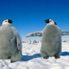 happy feet penguin Animals 176x220