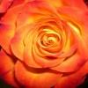 Orange rose Nature 176x220