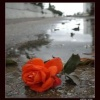 red rose love Nature 176x220