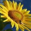 sunflower van gogh Nature 176x220