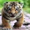 tiger cubs Animals 240x320