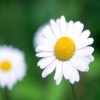 White Daisy Others 400x300
