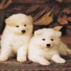 white terrier puppies Animals 176x220