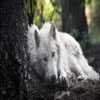 white-wolf Animals 2160 x 38 Animals, HD Images, wallpaper