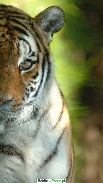 tiger_face_picture_animals_mobile_wallpaper.jpg